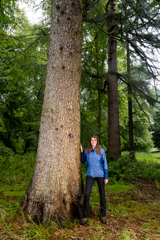 Morinda spruce, Hopetoun House, Scottish Tree of the Year 2016