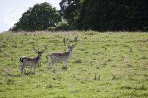 Wild deer on the Estate