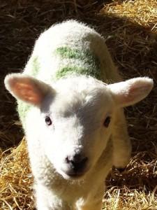 lamb-content-portrait