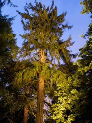 The Morinda Spruce, Hopetoun